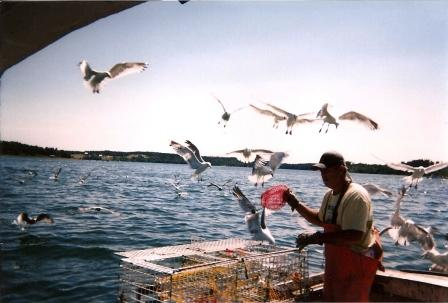 emptying bait bags, to the excitement of all the local gulls